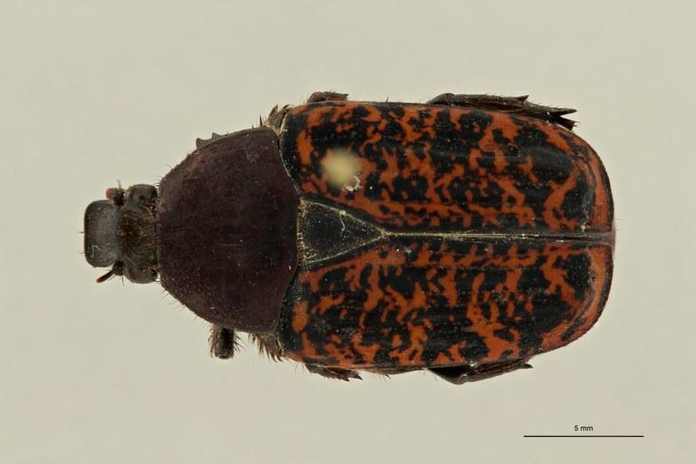 Centrantyx (Nigrocentrantyx) digennaroi joffreyi ht D ZS PMax Scaled.jpeg