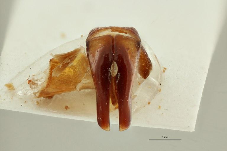 Centrantyx (Nigrocentrantyx) digennaroi joffreyi ht DG ZS PMax Scaled.jpeg