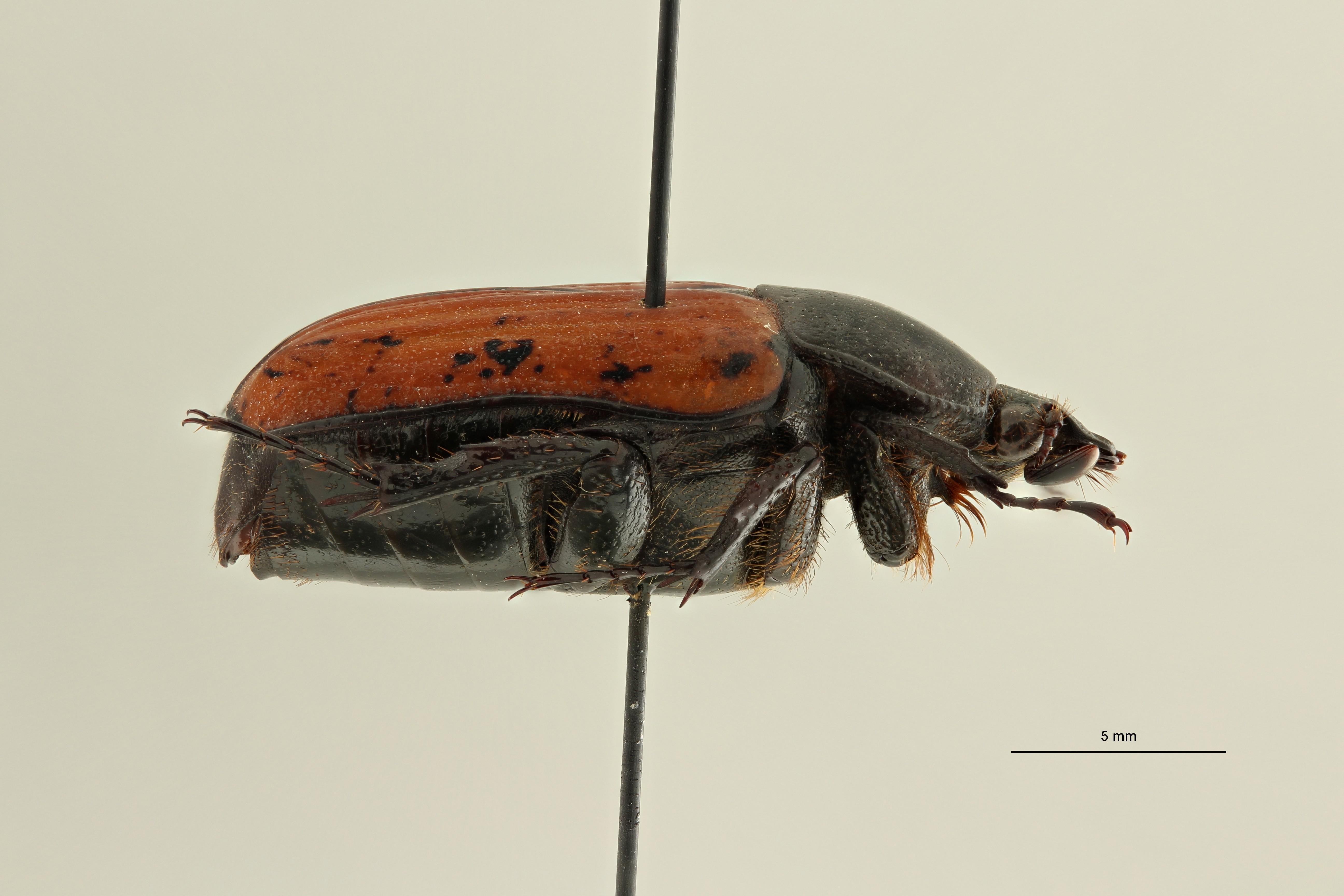Centrantyx (Nigrocentrantyx) digennaroi at L ZS PMax Scaled.jpeg