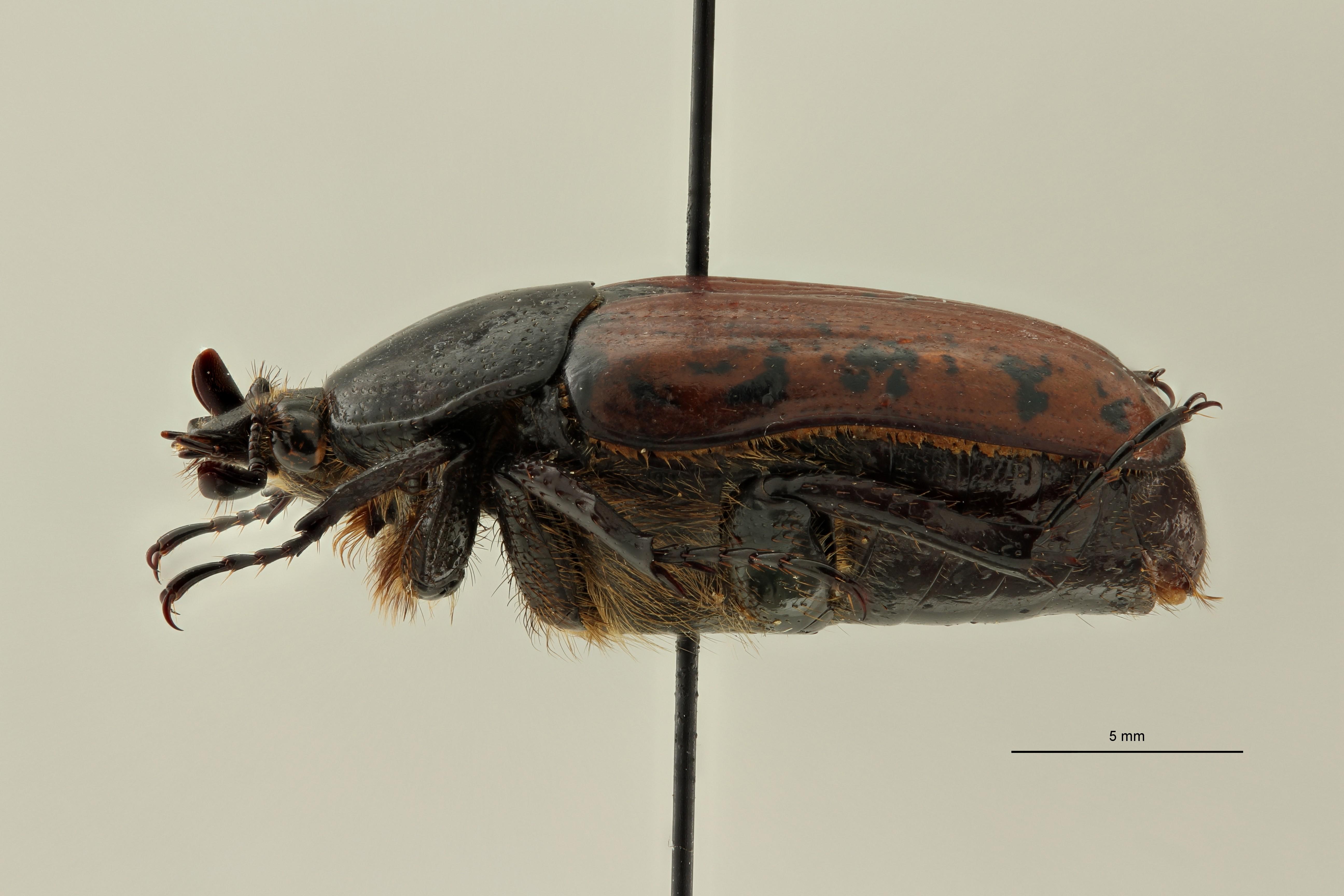 Centrantyx (Nigrocentrantyx) digennaroi mickaeli at L ZS PMax Scaled.jpeg