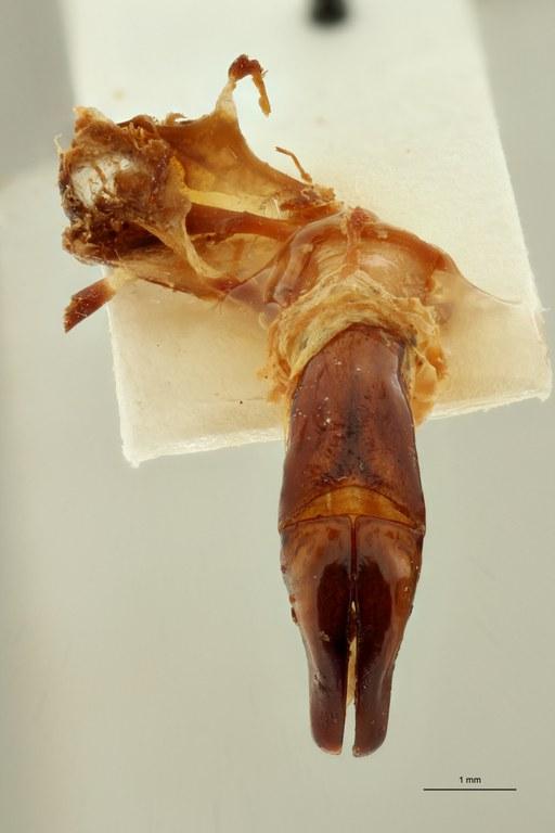 Centrantyx (Nigrocentrantyx) digennaroi rousseaui ht DG ZS PMax Scaled.jpeg