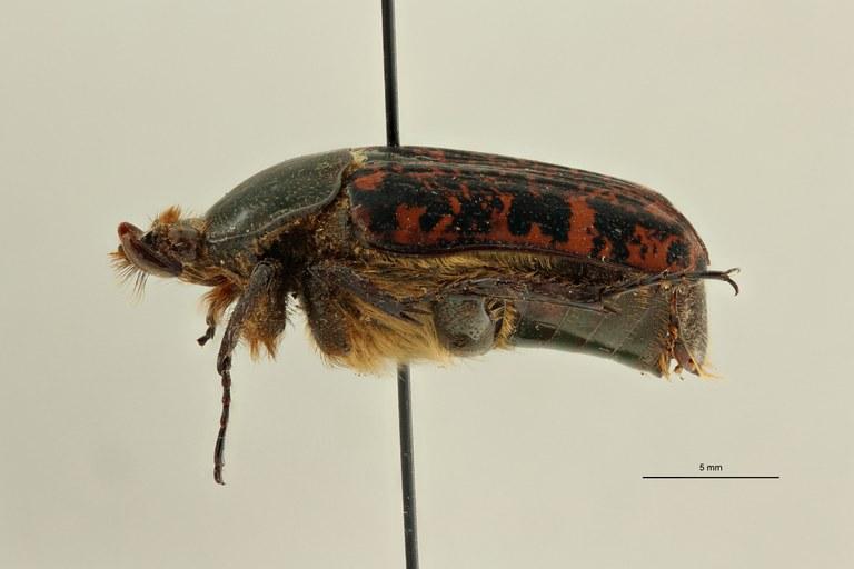 Centrantyx (Nigrocentrantyx) digennaroi rousseaui ht L ZS PMax Scaled.jpeg