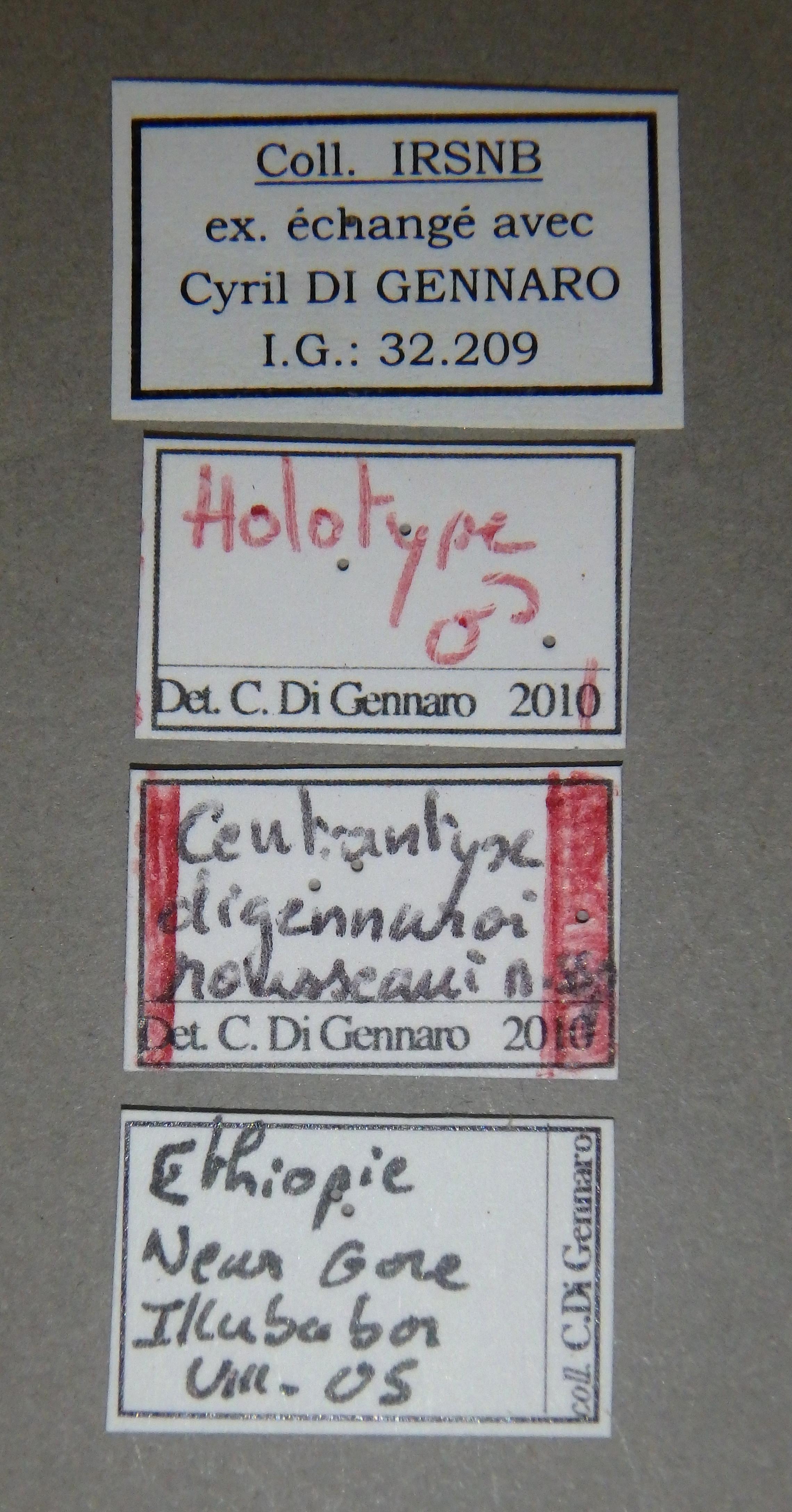 Centrantyx (Nigrocentrantyx) digennaroi rousseaui ht Lb.JPG