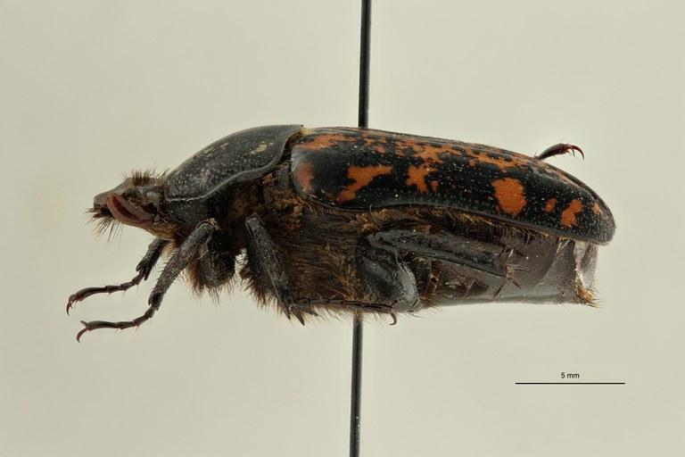 Centrantyx (Nigrocentrantyx) rougeoti antenehi ht L ZS PMax Scaled.jpeg