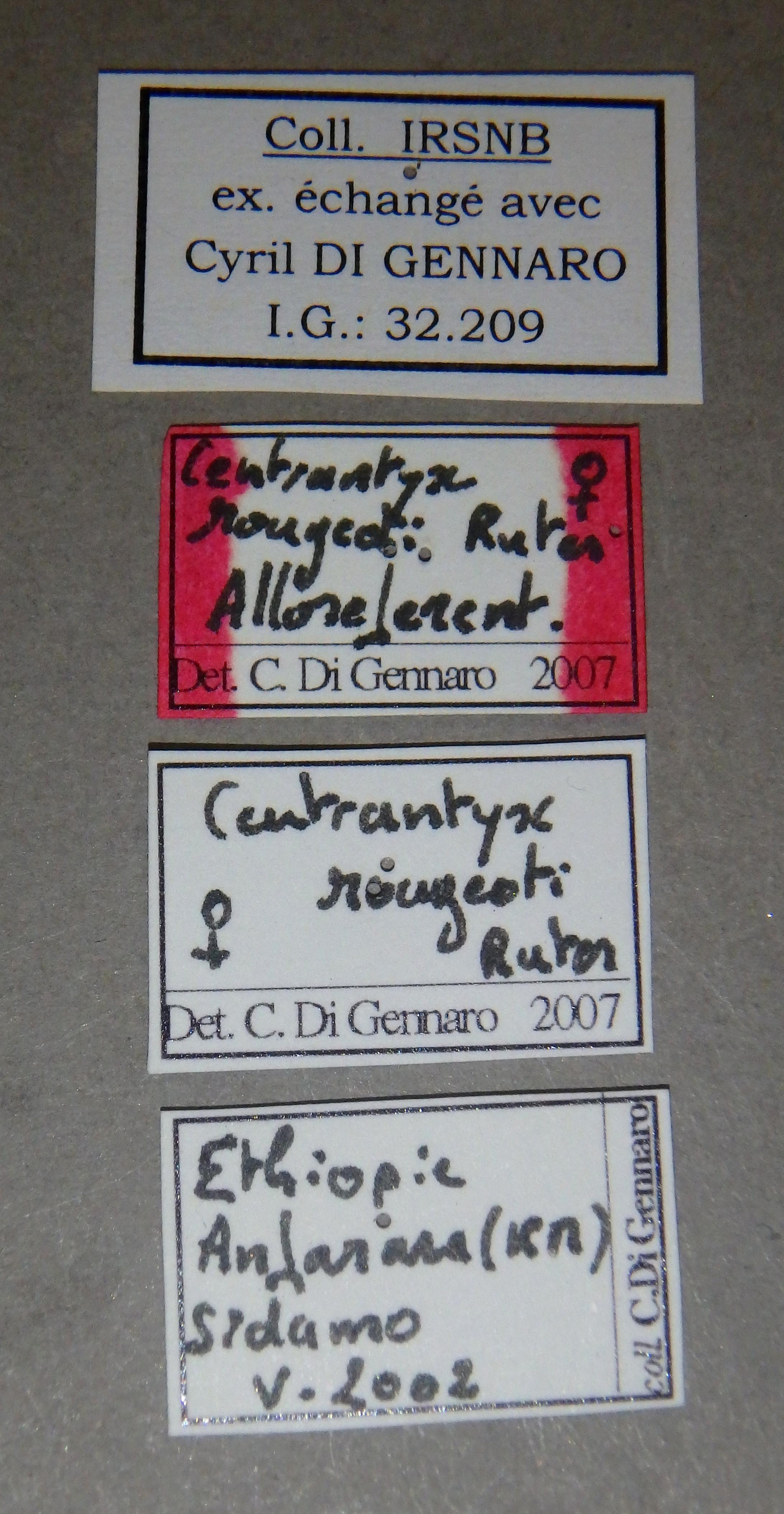 Centrantyx (Nigrocentrantyx) rougeoti rougeoti at Lb.JPG