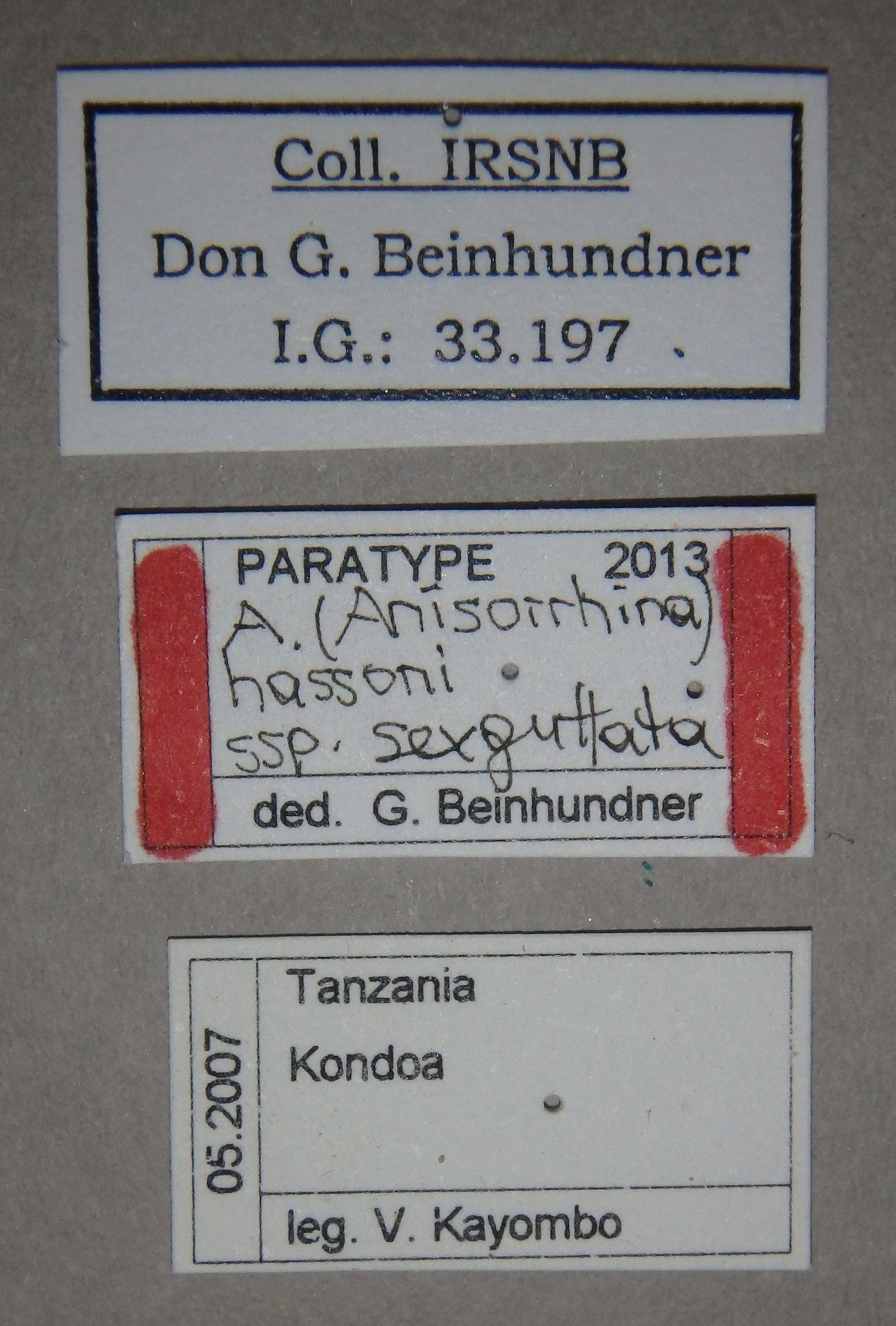 Anisorrhina (Anisorrhina) hassoni subspecies sexguttata pt2 Lb.JPG