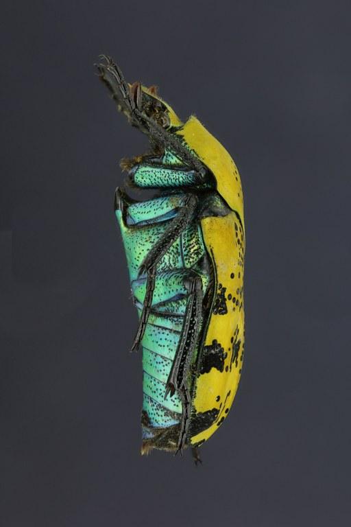 Argyripa lansbergei 23622zs33.jpg