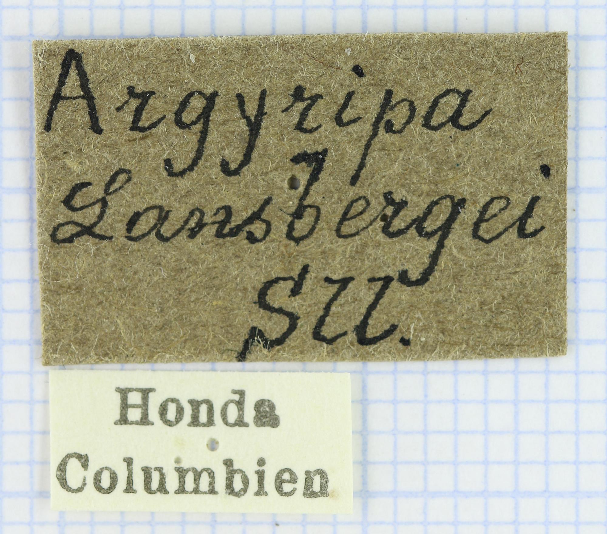 Argyripa lansbergei 23634.jpg