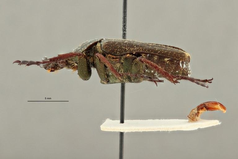 Cephalocosmus benesi ht L ZS PMax Scaled.jpeg