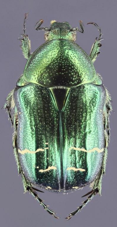 Cetonia carthami 28299zs12.jpg