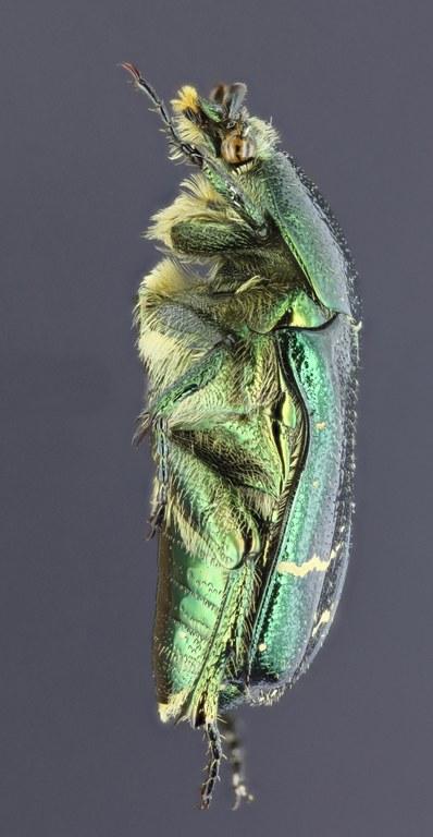 Cetonia carthami 28313zs25.jpg