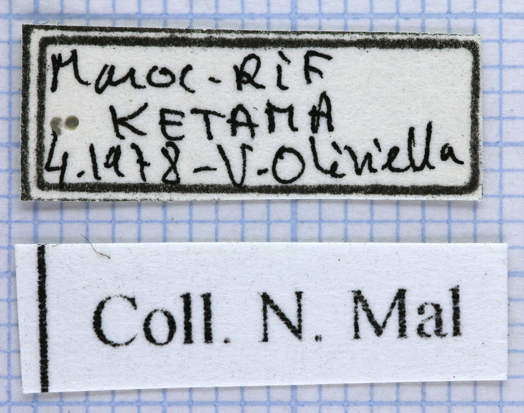 Cetonia funeraria lab 27409.jpg