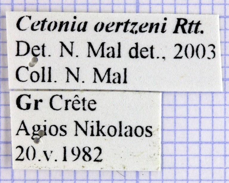 Cetonia oertzeni 27825.jpg