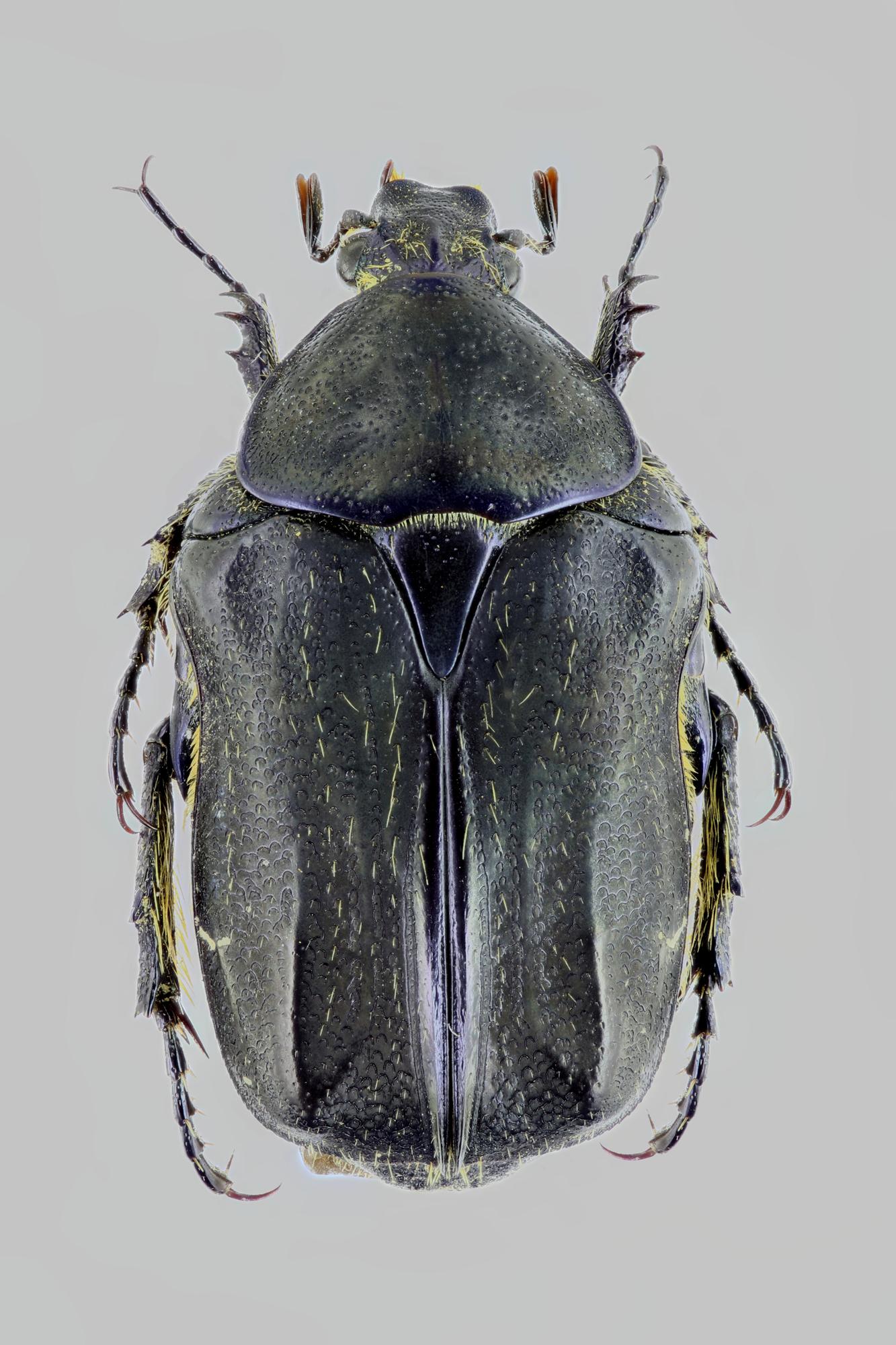 Cetonia oertzeni 27878zs94.jpg