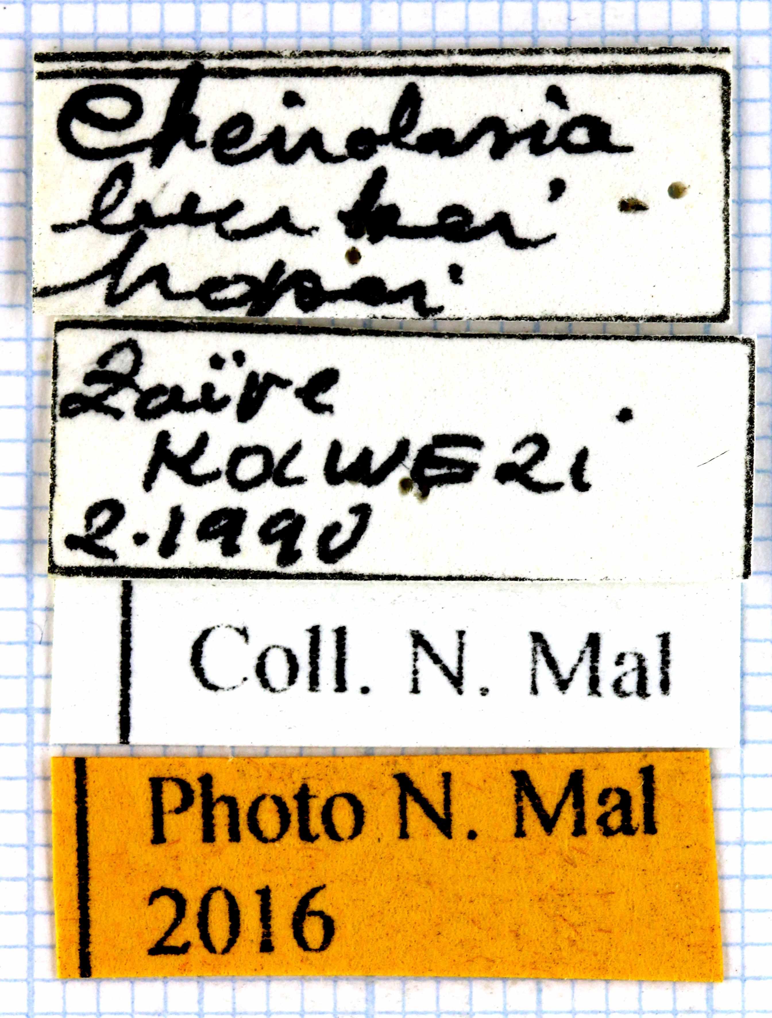 Cheirolasia burkei hopei 64122.jpg