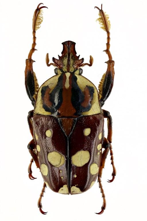 Cheirolasia burkei hopei 64223zs33.jpg