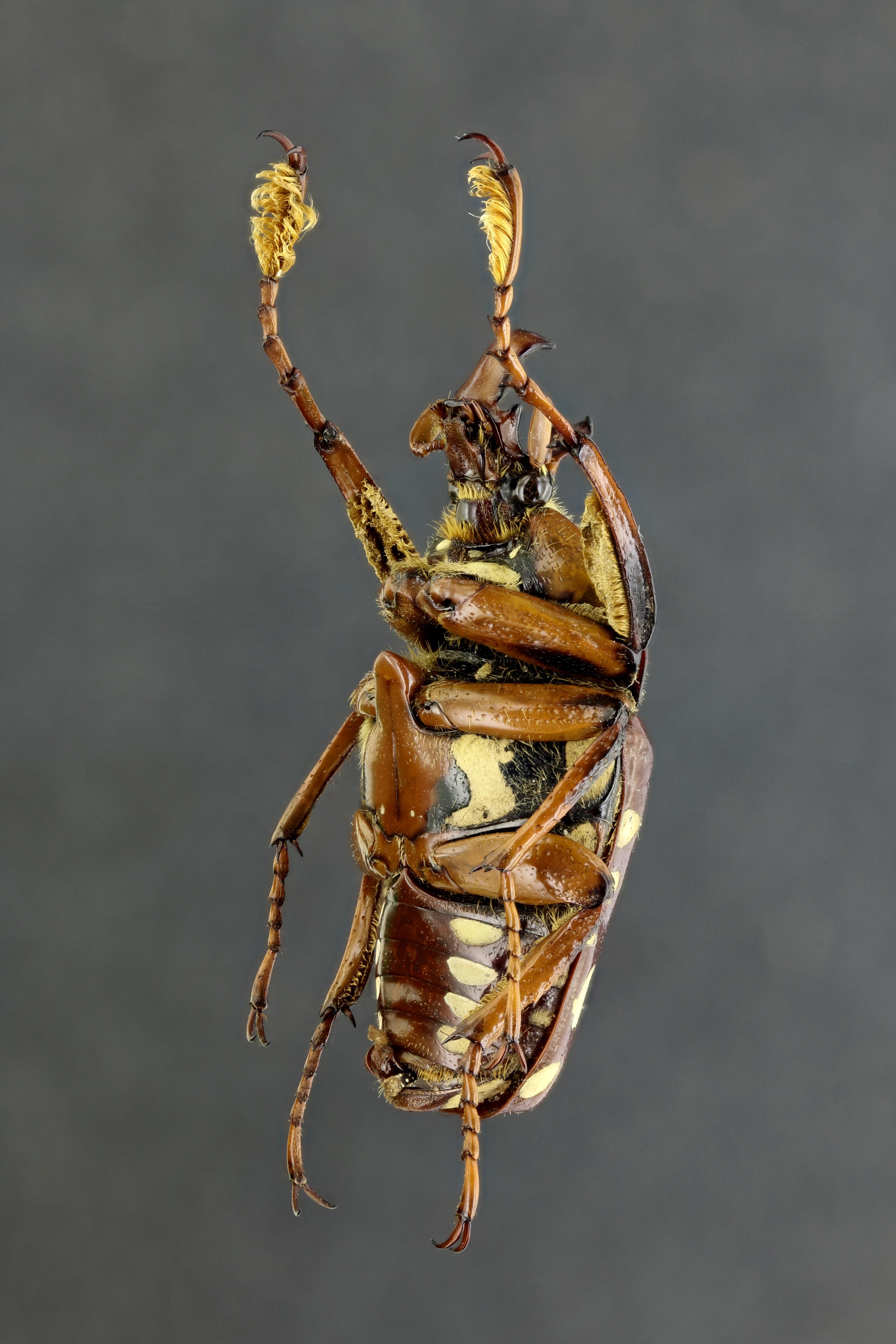 Cheirolasia burkei hopei 64235zs46.jpg