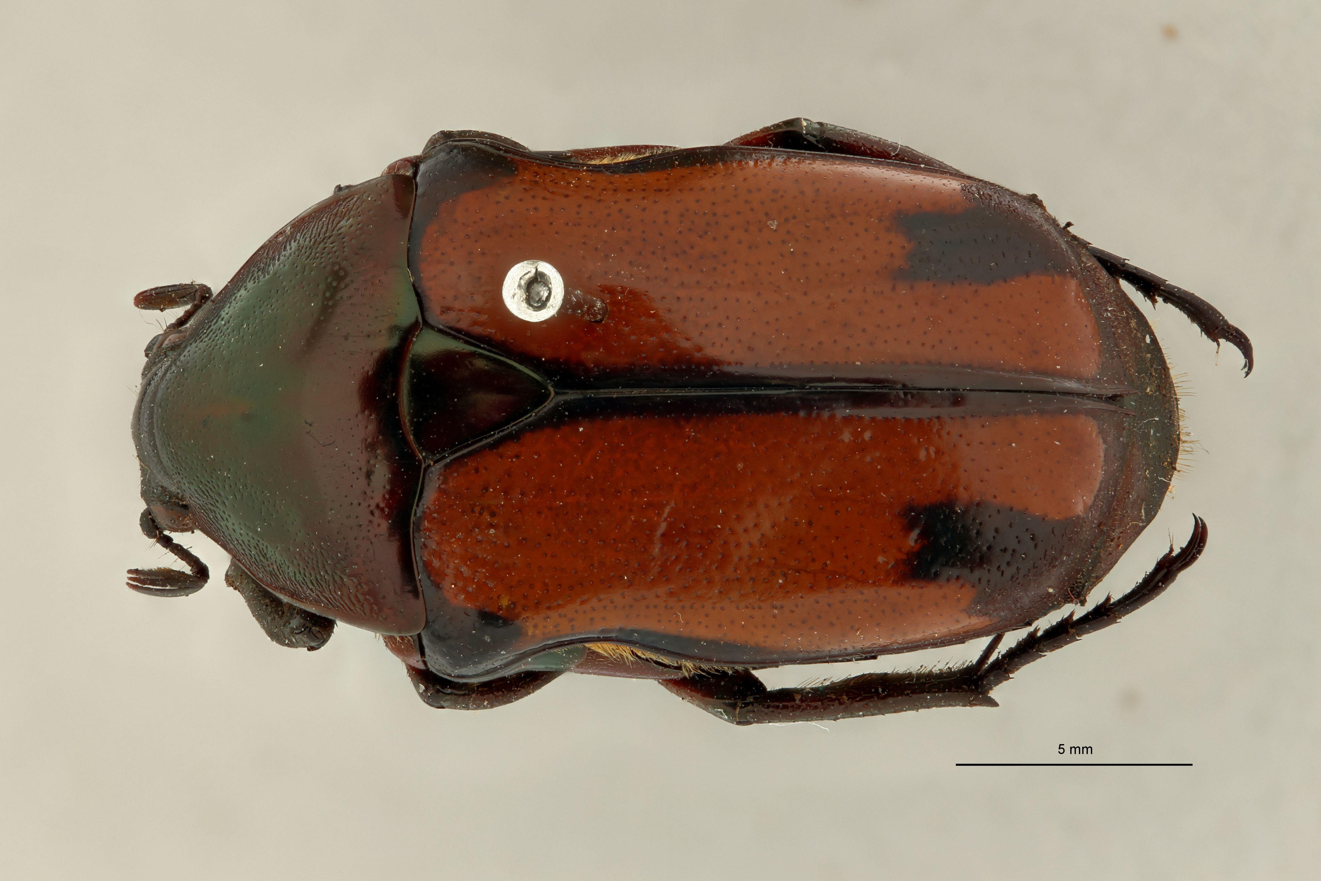Chondrorrhina (Plaesiorhinella) murphyi pt D.jpg