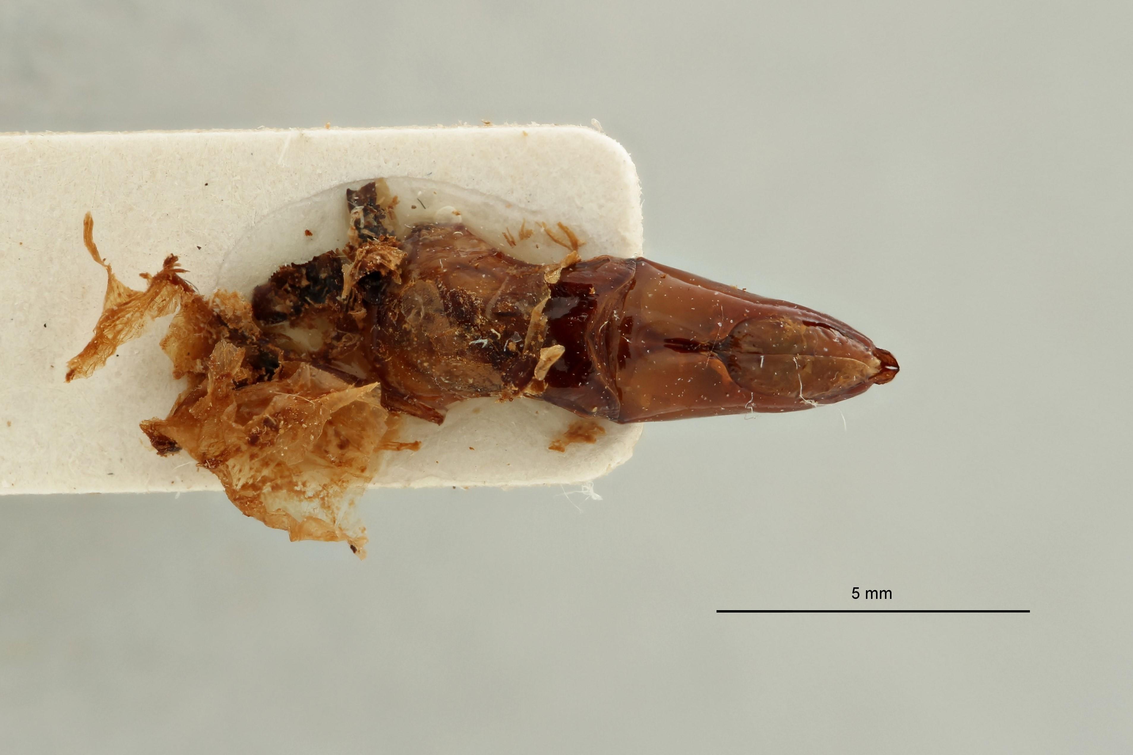 Chondrorrhina (Plaesiorhinella) murphyi pt Genitalia D.jpg