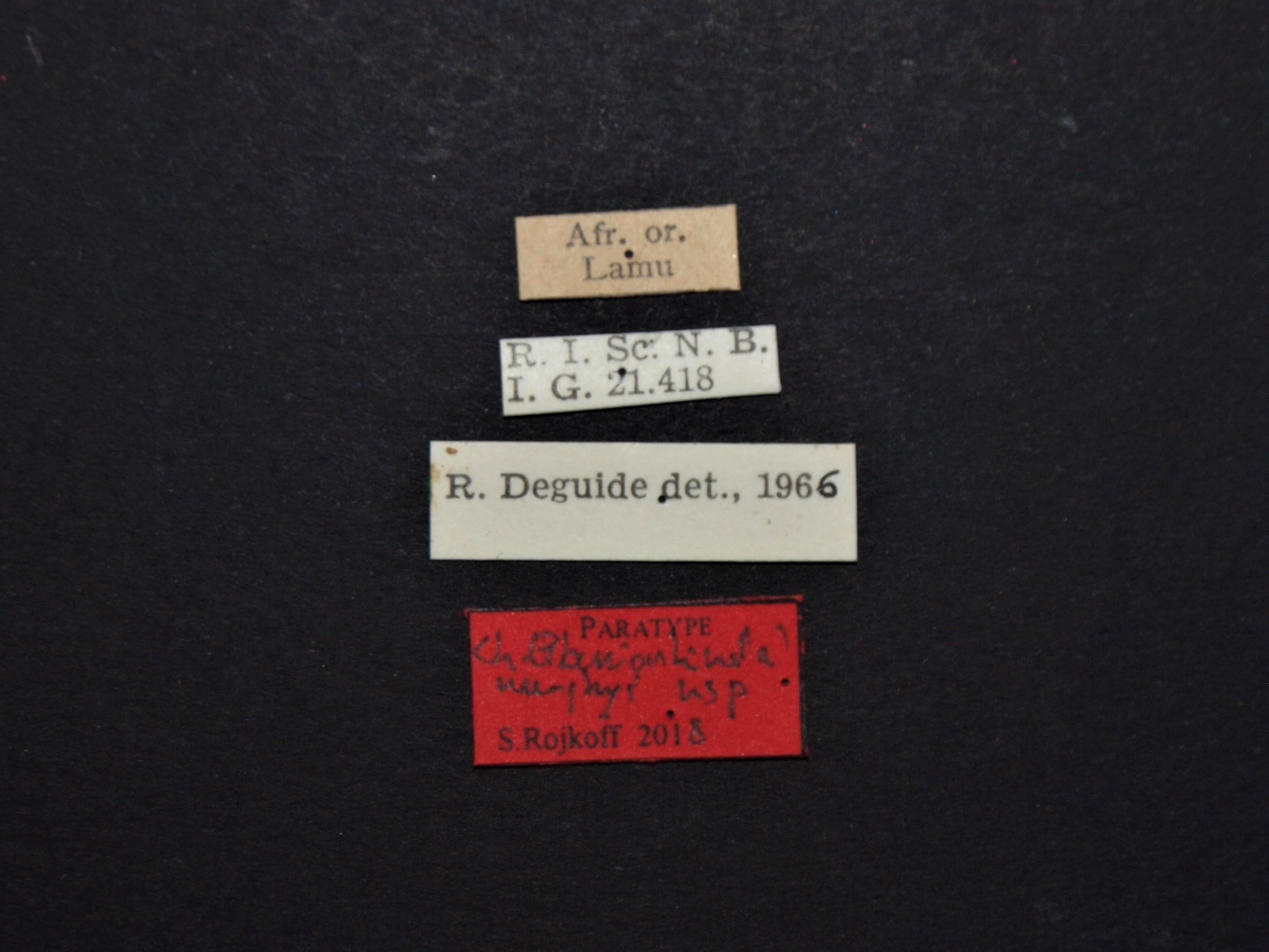 Chondrorrhina (Plaesiorhinella) murphyi pt Labels.JPG