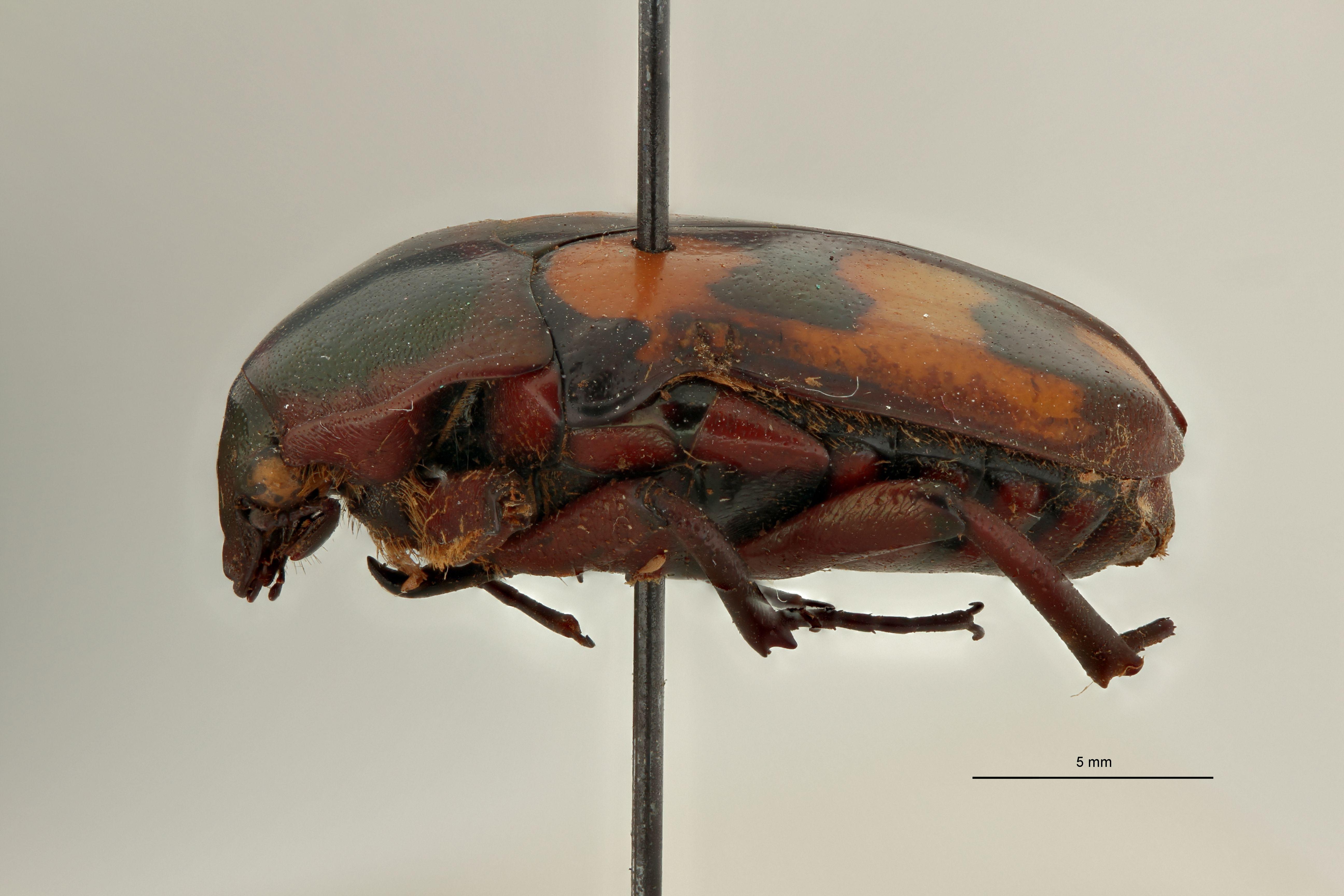 Chondrorrhina (Plaesiorhinella) murphyi pt L.jpg