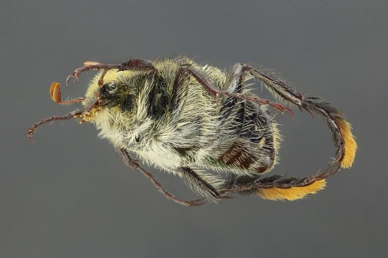 Chromoptilia diversipes 60052zs91.jpg