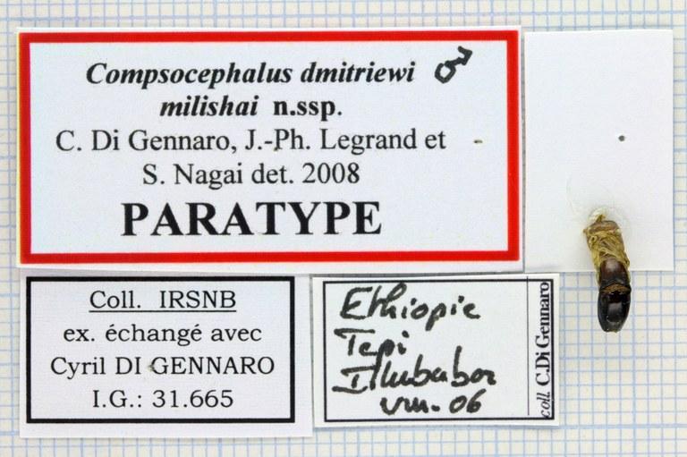 Compsocephalus dimitriewi milishai Lables PT Lb 25480zs84.jpg