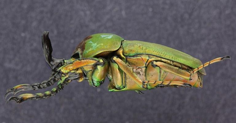 Compsocephalus dimitriewi milishai PT 25523zs34.jpg
