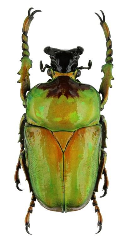 Compsocephalus dimitriewi milishai PT 25535zs45.jpg
