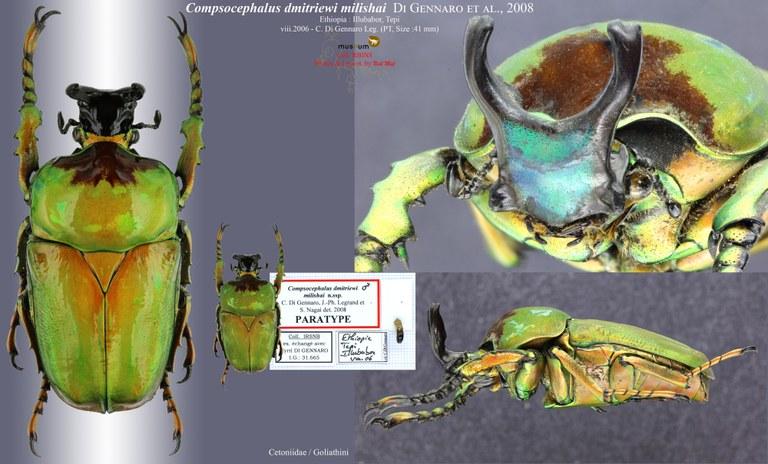 Compsocephalus dimitriewi milishai PT.jpg