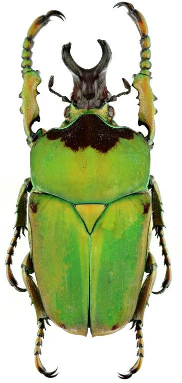 Compsocephalus dmitriewi dmitriewi 16782zs93.jpg