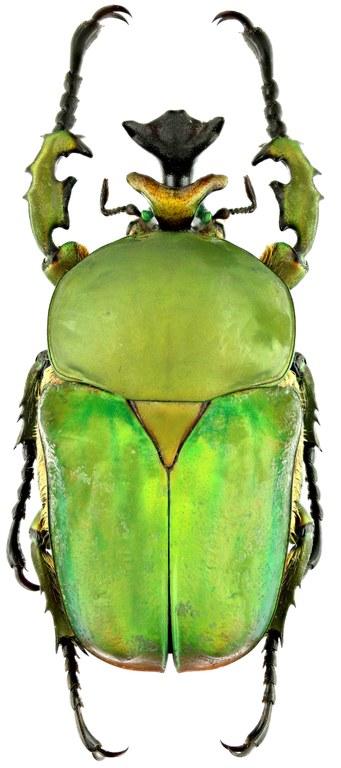 Compsocephalus dohertyi 16716zs26.jpg