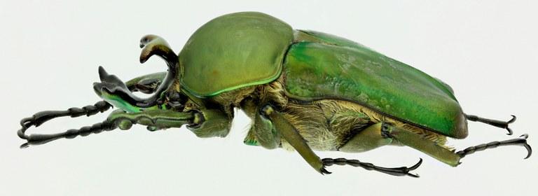 Compsocephalus dohertyi 16727zs41.jpg