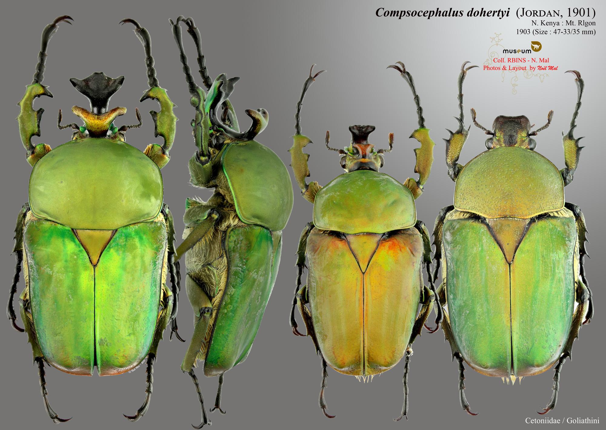 Compsocephalus dohertyi.jpg