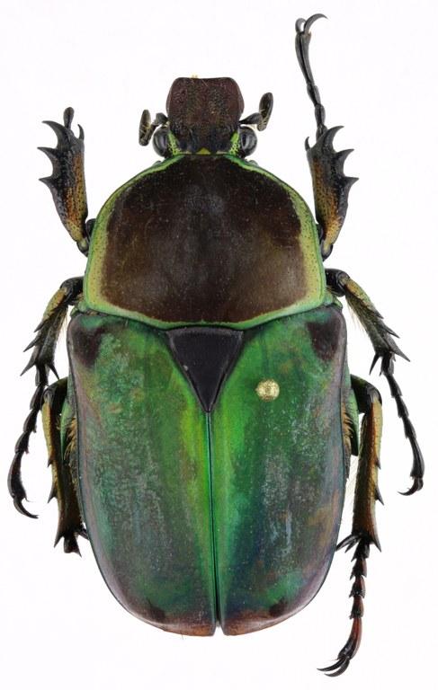 Compsocephalus horsfieldianus noguchii PT f 25597zs07.jpg