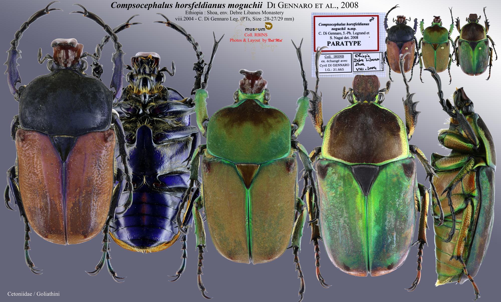 Compsocephalus horsfieldianus noguchii PT .jpg
