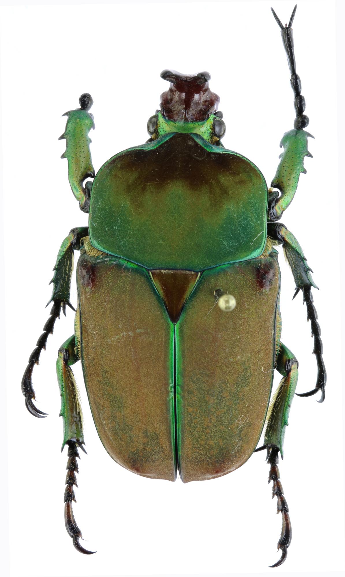 Compsocephalus horsfieldianus noguchii PT 25585zs96.jpg