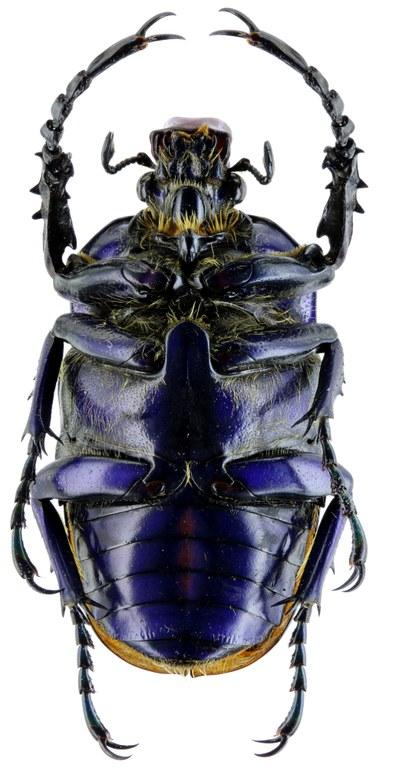 Compsocephalus horsfieldianus noguchii PT 25567zs74.jpg