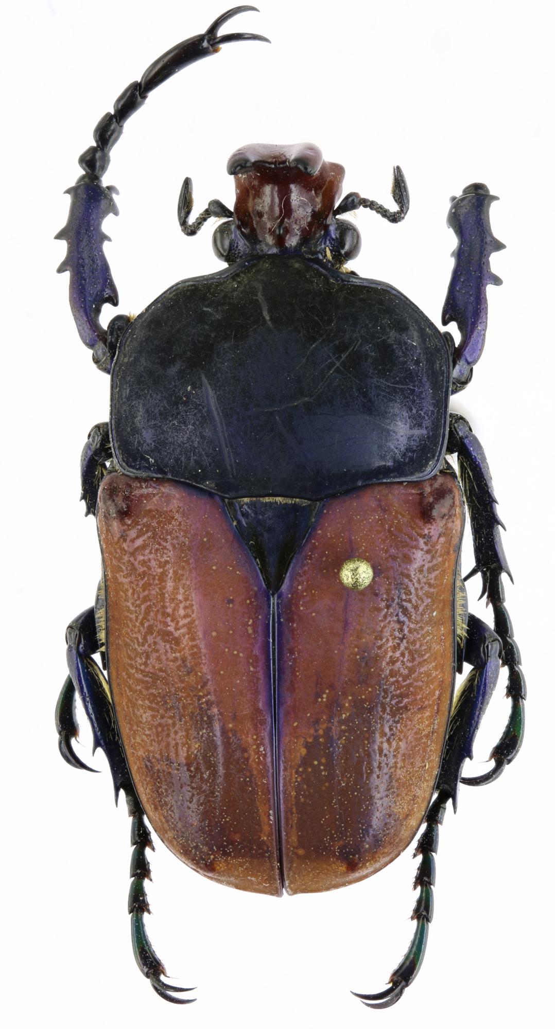 Compsocephalus horsfieldianus noguchii PT 25575zs84.jpg