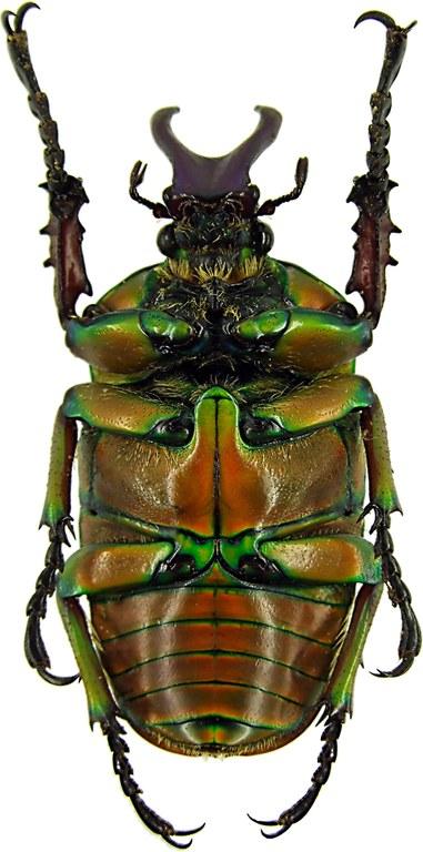 Compsocephalus kachowskii kachowskii 11413cz16.jpg
