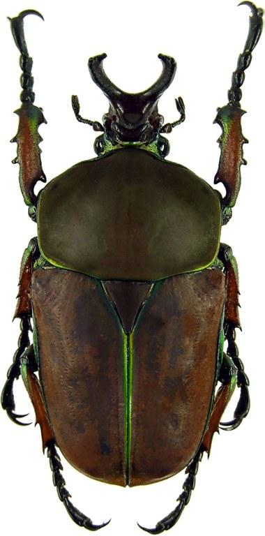 Compsocephalus kachowskii kachowskii 11439cz44.jpg