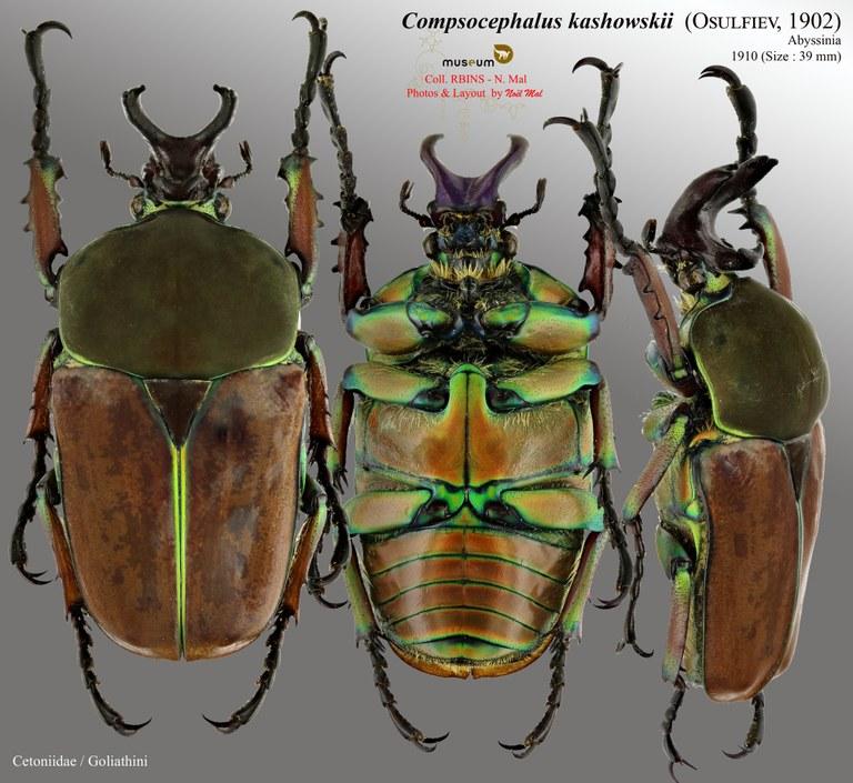 Compsocephalus kachowskii kachowskii.jpg
