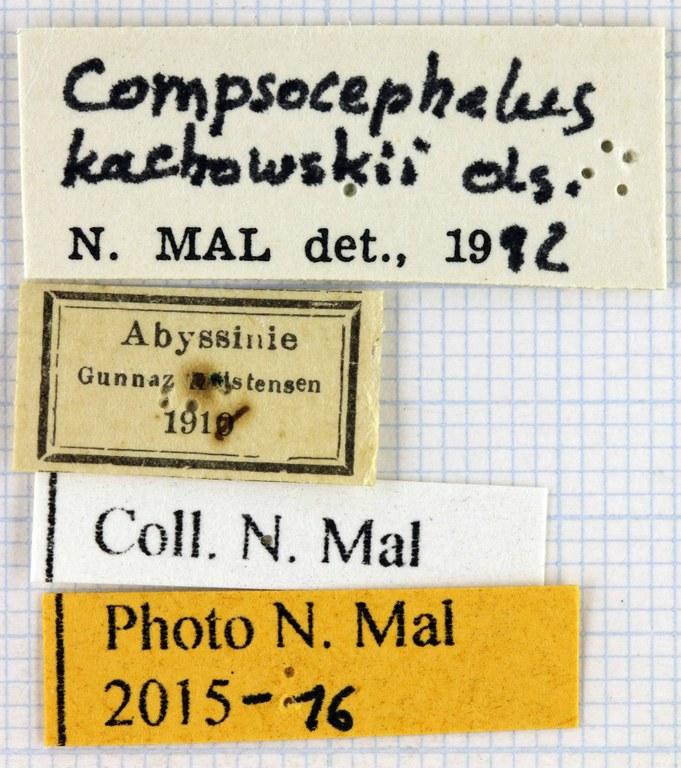 Compsocephalus kachowskii kachowskii lab.jpg