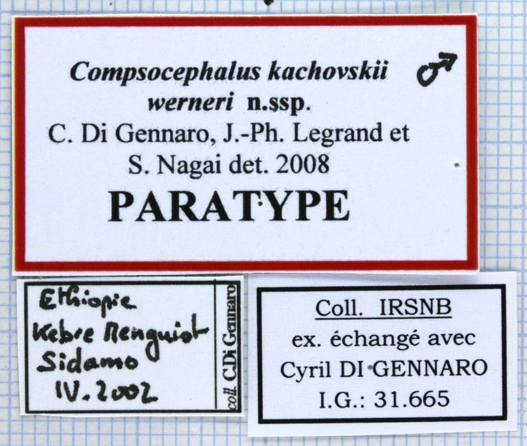 Compsocephalus kachowskii werneri 25619.jpg