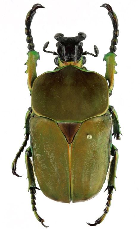 Compsocephalus kachowskii werneri PTm 25649zs49.jpg