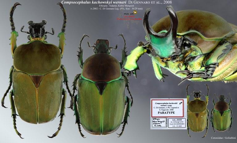 Compsocephalus kachowskii werneri.jpg