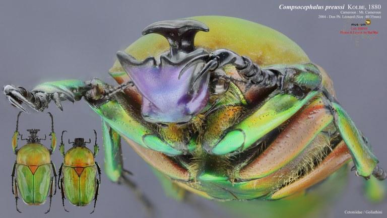 Compsocephalus preussi.jpg