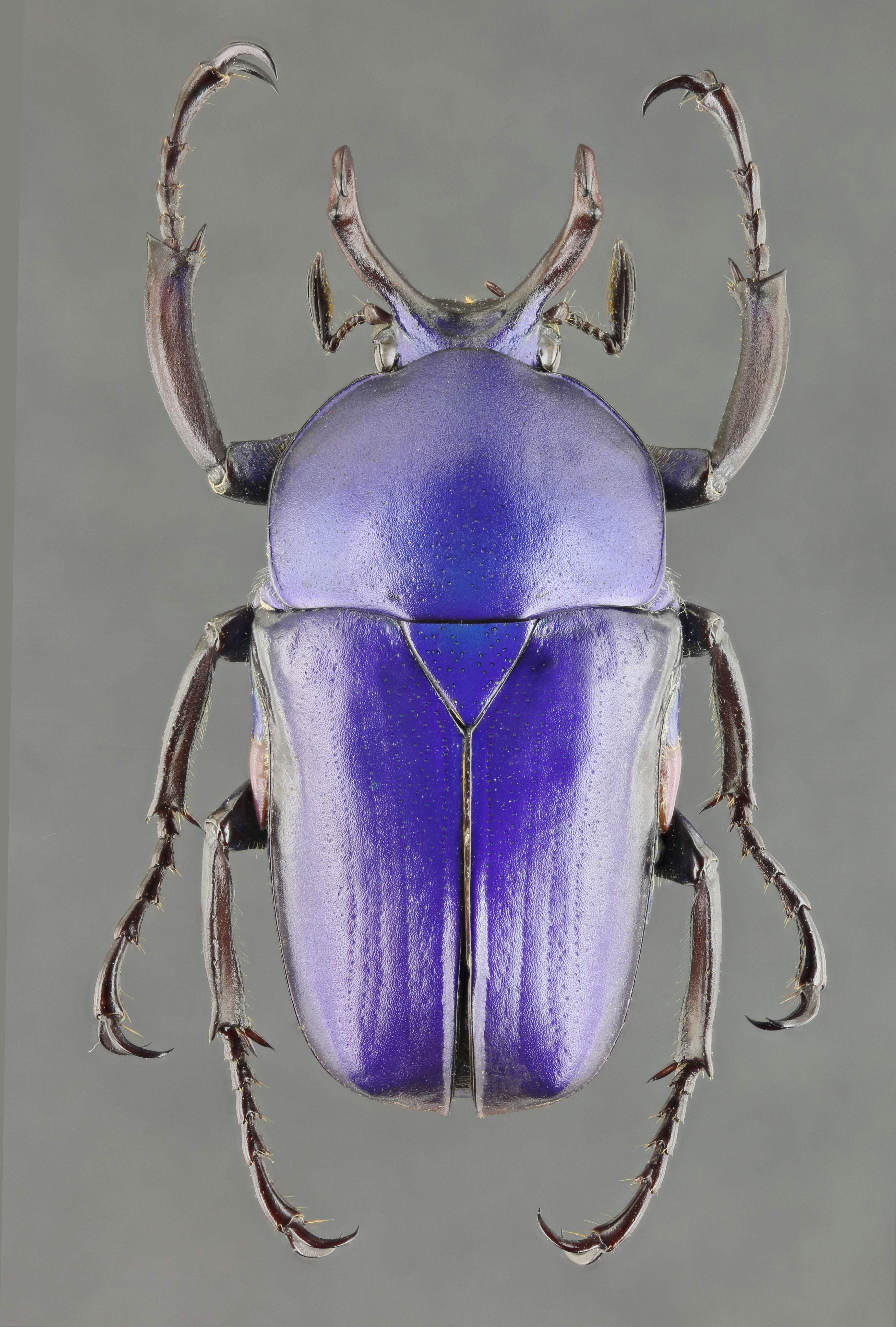 Cyphonocephalus olivaceus 62348zs70.jpg