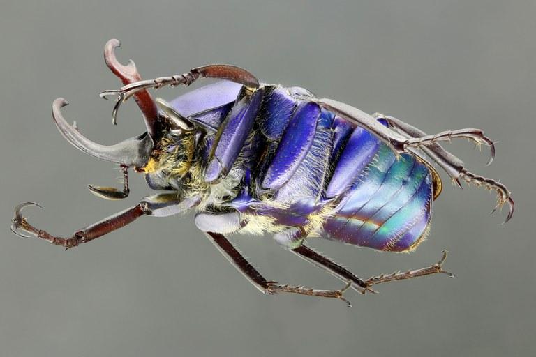 Cyphonocephalus olivaceus 62371zs19.JPG