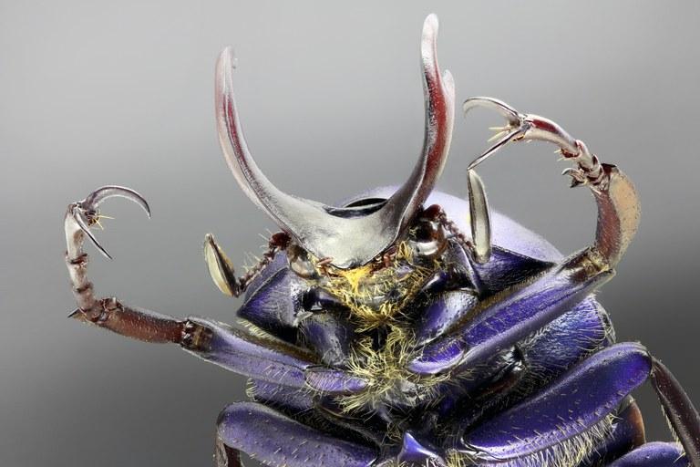 Cyphonocephalus olivaceus portrait.jpg
